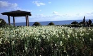串本町大島樫野崎の水仙