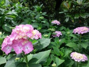 ピンクの紫陽花