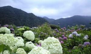 那智大社紫陽花園