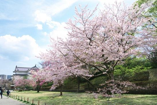 駿府城公園の桜.jpg