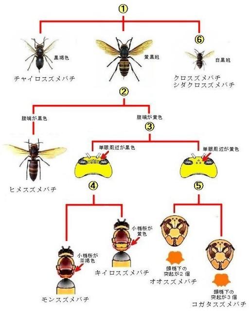 スズメバチの見分け方