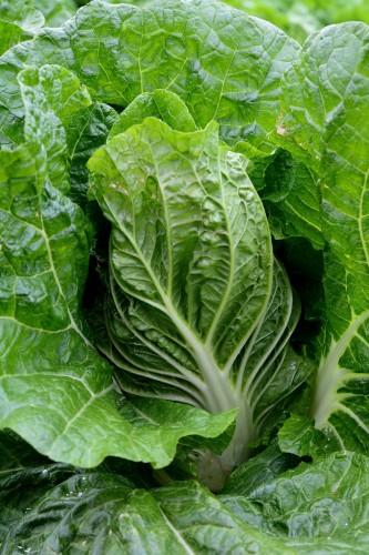 白菜の美味しい季節になってきました。 photo by 写真AC