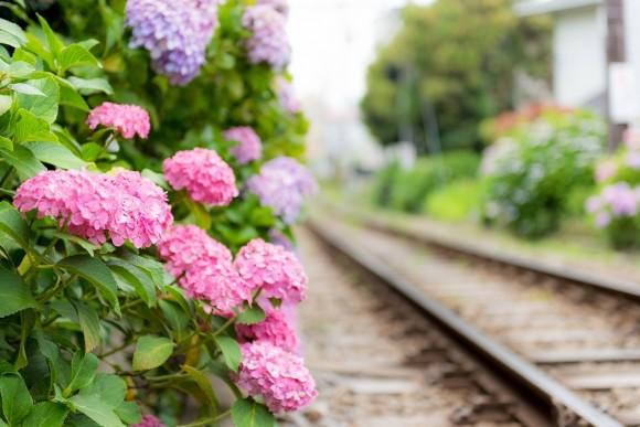 線路沿いに咲くアジサイ